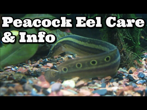Peacock Eel / Spiny Eel Care, Information And Advice - Macrognathus Siamensis