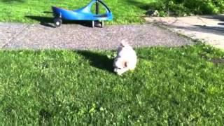Havanese Puppy Vancouver