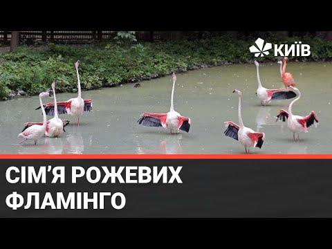 Телеканал Київ: Зустрічайте - Фламінго рожевий