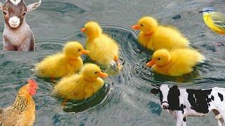 Download Lagu cit cit cuit bebek berenang