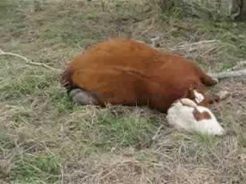 Dead Cow Video