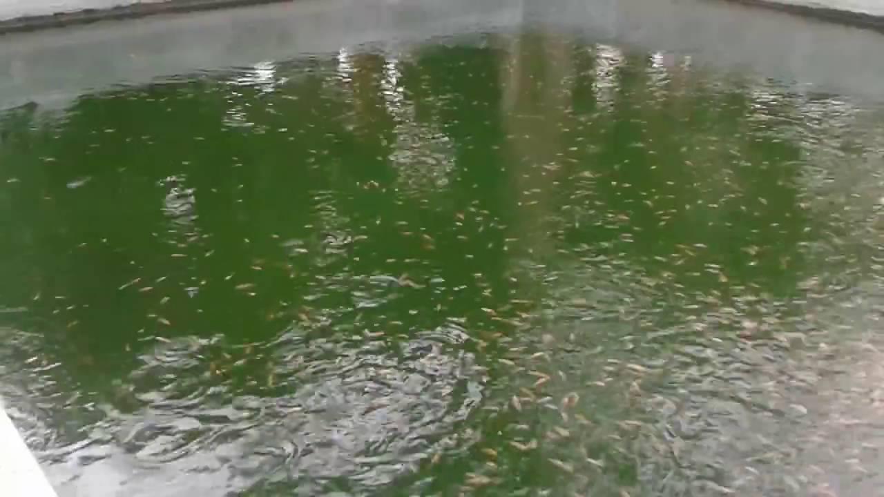 feeding tilapia fingerlings in a pond youtube
