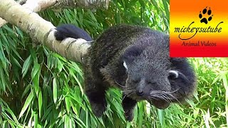Sleepy Rare Binturong (Bearcat)