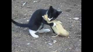 So cute))wrestling without rules))Kitten and baby turkey!