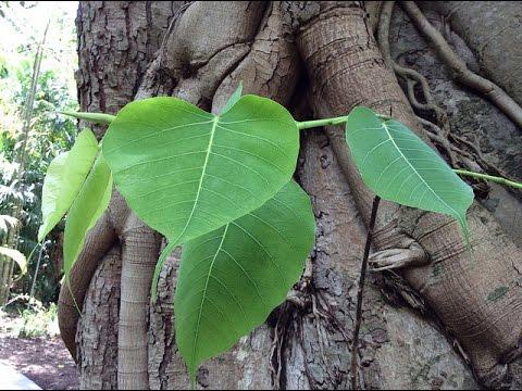 Ficus religiosa ( Sacred Fig, Bodhi tree, Peepal tree )