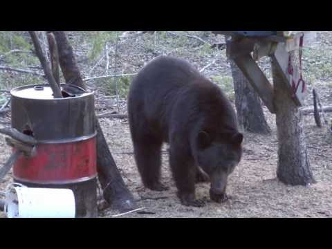 Black Bear Hunting Alberta 19'' Bear