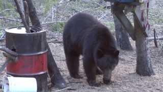 Black bear hunting Alberta 19'' bear