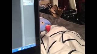 Bird plays Peek-A-Boo around laptop | ORIGINAL