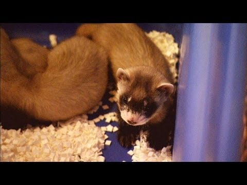 Black-Footed Ferrets Get a Second Chance at Life
