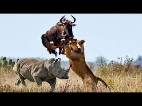 Download Big battle craziest of Rhino vs Wild Animal - Lion, Leopard, Elephant, Hyenas vs Rhino