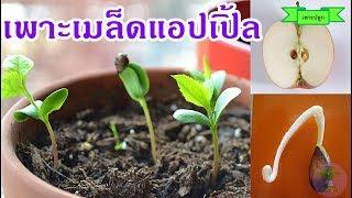 วิธีเพาะเมล็ดแอปเปิ้ลจากลูกแอปเปิ้ล ลองปลูกต้นแอปเปิ้ลในไทย