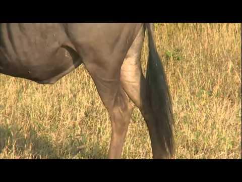 Giraffe and Wildebeest AM Drive SafariLIVE