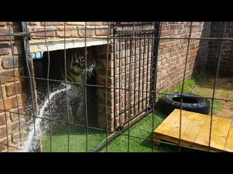 How to water Your tigers!