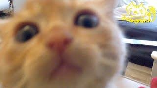 茶トラ子猫「ひろし」テーブルの寿司に気付かれたッ!落ち着くんだー Cute Cat Hiroshi Begging for Food thumbnail