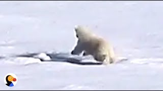 Baby Polar Bear Plays In Puddles | The Dodo