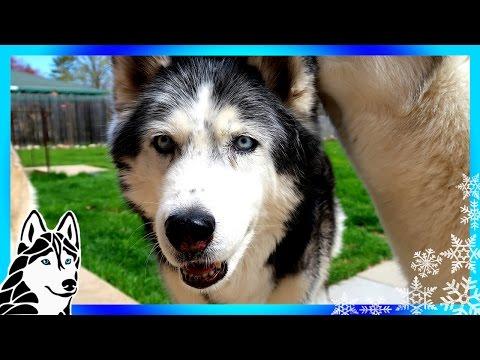 CAN I FEED MY DOG RAW FOOD  | #AskGTTSD 289 | Siberian Husky
