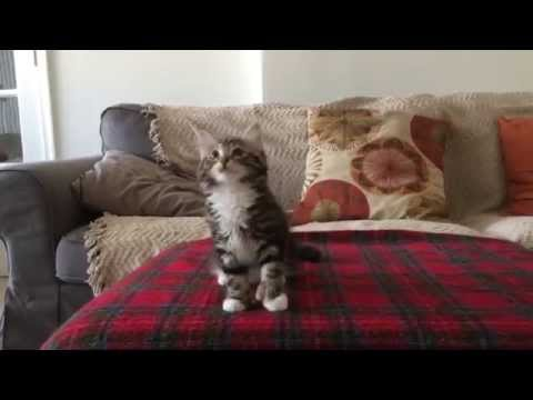 Uptown Funk Cat Version - Winnie the Kitten Video (adorable cat dancing to Uptown Funk)
