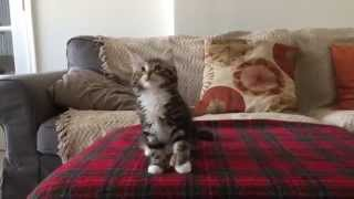 "Uptown ""Kitty"" Funk Video (adorable cat/kitten dancing to Mark Ronson & Bruno Mars - Uptown Funk)"
