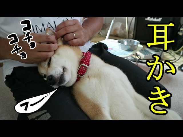 柴犬小春 【恍惚犬】お初の綿棒耳かき体験でうっとりw