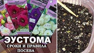 Когда сажать эустому на рассаду  Эустома из семян