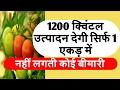 High yielding tomato variety