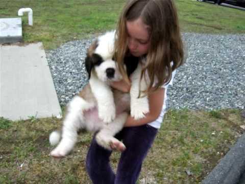 Saint Bernard Puppies For Sale New Saint Puppy Youtube