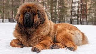 Tibetan Mastiff | Mighty Guardians Of The Himalayas