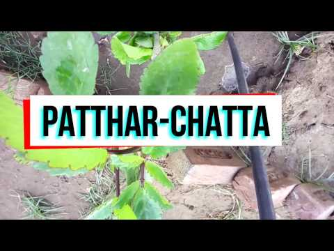 "Ayurvedic uses of ""Pathar Chatta"" in Kidney Stones Pain | पत्थर चट्टा Gallstones | गाल ब्लैडर स्टोन"