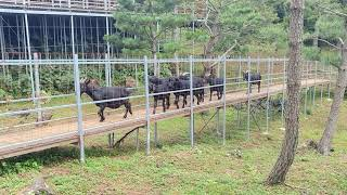 염소때들의 행렬!!! 우와~ 100여마리의 염소들 식사…