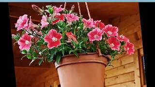 видео Цветы петуния ампельная и каскадная: фото, сорта, выращивание из семян рассады