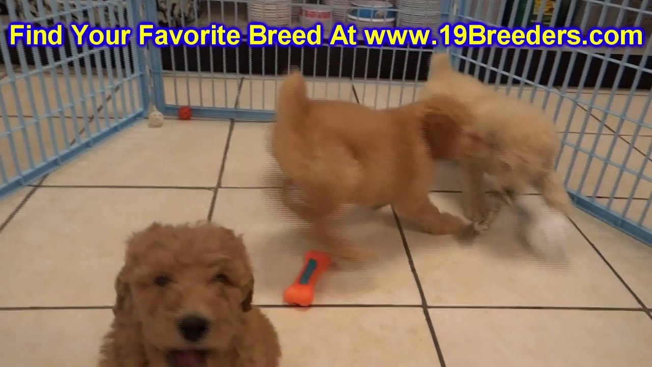 Goldendoodle, Puppies, Dogs, For Sale, In Columbia, South Carolina, SC,  Mount Pleasant, Sumter