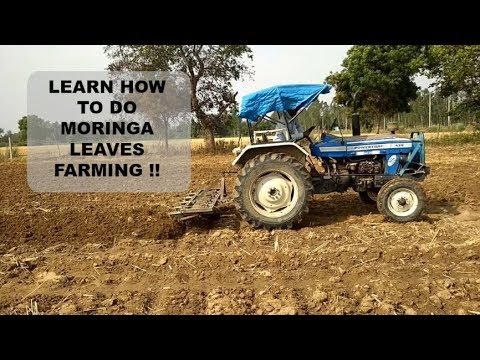 For Beginners!! A Step By Step Guide Of Moringa Leaves Farmi