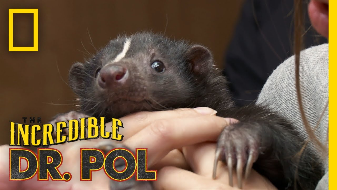 A Skunk With a Limp   The Incredible Dr. Pol