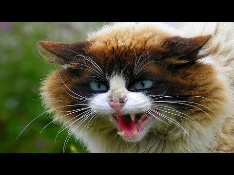 ANGRY CATS HISS AND GROWL! Compilation 2019