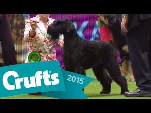 Group Judging (Working) and Presentation | Crufts 2015