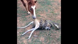 4 Metre-long python gobbles up wallaby with joey in pouch WHOLE to reveal nature's brutal fight for