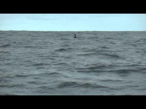 Juan Fernandez Petrels return to colony, November 2014, Alexander Selkirk Island