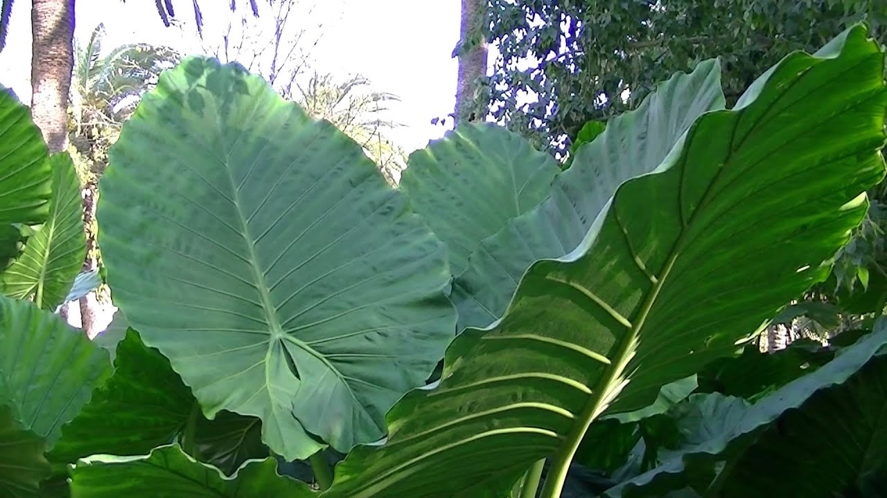 Oreja de elefante alocasia macrorrhizos http www for Planta ornamental oreja de elefante