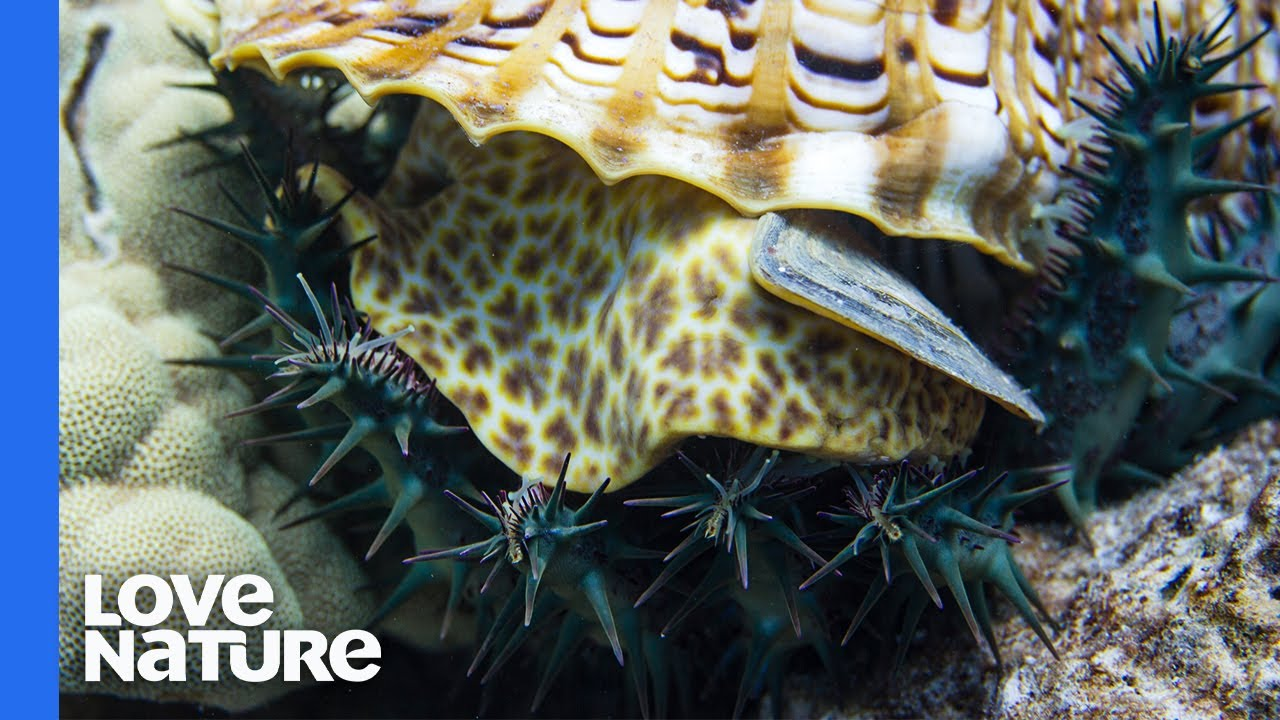 Giant Sea Snail Hunting Crown-of-thorns Starfish