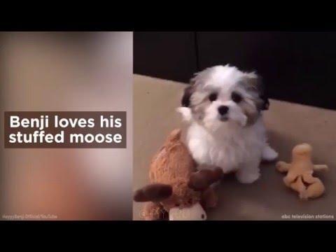 Adorable dog loves its stuffed moose