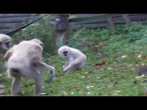 Des singes chassent un rat