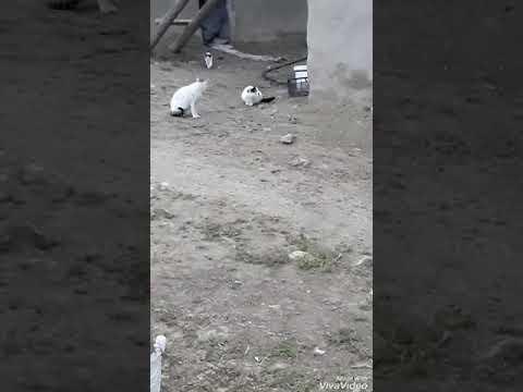 Heycani meycani yok kedi var😂