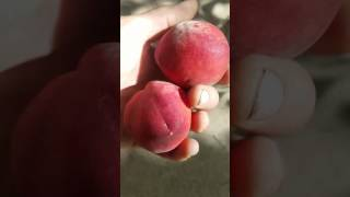 Florida Prince Peach taste test! If you only buy 1 peach tree get this one!