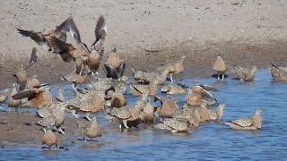 Sandgrouse At The Waterhole