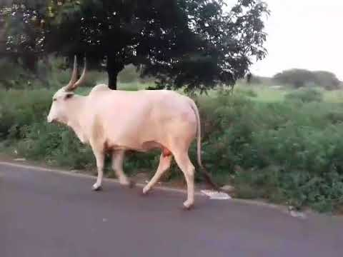 Opinion obvious. bull and cow sex