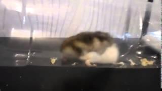 Размножение хомячков джунгариков   смешное видео