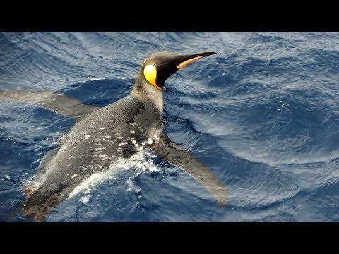 Subantarctic Wildlife - South Sandwich/South Orkney/South Shetland Islands