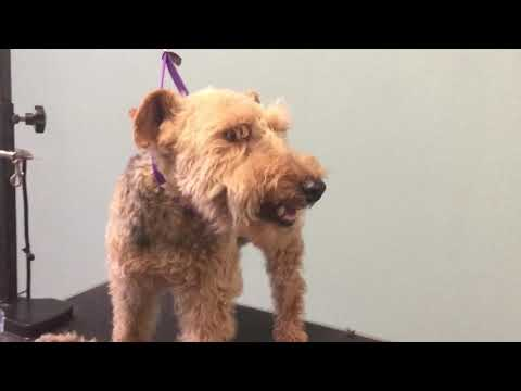 How to groom a welsh Terrier part-1
