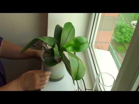 Вопрос: Что делать, орхидея отцвела , завалилась набок , торчат стебель и корни?