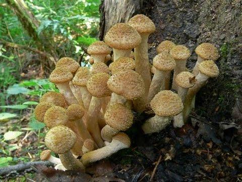 грибы (королевские опята)